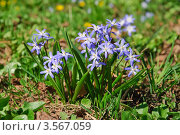 Купить «Цветы Хионодокса (Chionodoxa) на поляне», фото № 3567059, снято 26 апреля 2011 г. (c) Алёшина Оксана / Фотобанк Лори