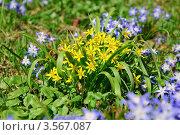Купить «Гусиный лук (Gagea)», фото № 3567087, снято 26 апреля 2011 г. (c) Алёшина Оксана / Фотобанк Лори