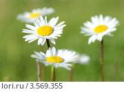 Ромашки на фоне травы. Стоковое фото, фотограф Александра / Фотобанк Лори