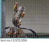 Купить «Обыкновенная беличья обезьяна  (Saimiri sciureus)», фото № 3572559, снято 2 июня 2012 г. (c) Игорь Долгов / Фотобанк Лори