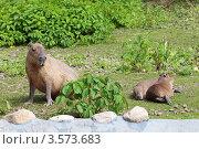 Капибара (Hydrochoerus hydrochaeris) с потомством. Стоковое фото, фотограф Игорь Долгов / Фотобанк Лори