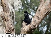 Купить «Гиббон на дереве», фото № 3577727, снято 7 апреля 2012 г. (c) Татьяна Белова / Фотобанк Лори