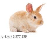 Купить «Бежевый крольчонок», фото № 3577859, снято 13 февраля 2011 г. (c) Дмитрий Калиновский / Фотобанк Лори