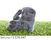 Серый шотландский котёнок на зелёном ковре. Стоковое фото, фотограф Верстова Арина / Фотобанк Лори