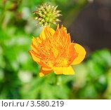 Купить «Цветок купальницы Ледебура (Trollius ledebourii)», эксклюзивное фото № 3580219, снято 11 июля 2011 г. (c) Алёшина Оксана / Фотобанк Лори