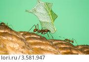 Купить «Муравей-листорез (Acromyrmex sp.) с листом», фото № 3581947, снято 21 сентября 2009 г. (c) Василий Фирсов / Фотобанк Лори