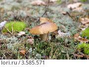 Белый гриб. Стоковое фото, фотограф Александр Бурштын / Фотобанк Лори