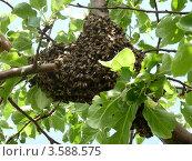Пчелиный рой обосновался на ветке яблони. Стоковое фото, фотограф Анастасия Баранова / Фотобанк Лори