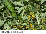Купить «Репешок - Agrimonia eupatoria L», эксклюзивное фото № 3588935, снято 11 июня 2011 г. (c) Короленко Елена / Фотобанк Лори
