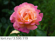 Роза. Стоковое фото, фотограф Александр Бурштын / Фотобанк Лори