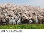 Купить «Японская сакура цветет в весеннем парке. Весенний пейзаж», фото № 3593903, снято 19 апреля 2012 г. (c) Ольга Липунова / Фотобанк Лори
