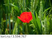 Купить «Яркий мак среди ржи», фото № 3594767, снято 31 мая 2012 г. (c) Morgenstjerne / Фотобанк Лори