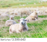 Стадо овец на лугу. Стоковое фото, фотограф Ольга Хорошунова / Фотобанк Лори