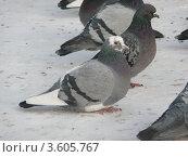 Голуби на снегу. Стоковое фото, фотограф Вячеслав Чернов / Фотобанк Лори
