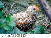 Купить «Цыплёнок», фото № 3605823, снято 20 июня 2012 г. (c) Хайрятдинов Ринат / Фотобанк Лори