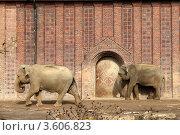 Два индийских слона возле стены. Стоковое фото, фотограф Irina Kolokolnikova / Фотобанк Лори