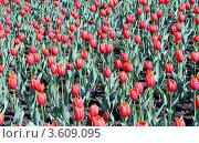 Тюльпаны. Стоковое фото, фотограф Александр Груздев / Фотобанк Лори