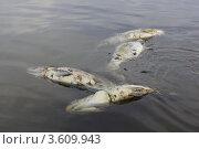 Рыба загубленная браконьерами. Стоковое фото, фотограф Сапронов Игорь / Фотобанк Лори