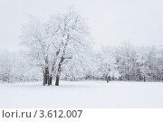 Купить «Заснеженный лес», фото № 3612007, снято 8 января 2012 г. (c) Сергей Яковлев / Фотобанк Лори