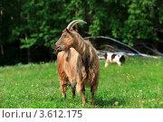 Купить «Коза пасется на лугу», эксклюзивное фото № 3612175, снято 20 июня 2012 г. (c) Николай Голиков / Фотобанк Лори