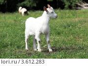 Купить «Маленький козел пасется на лугу», эксклюзивное фото № 3612283, снято 20 июня 2012 г. (c) Николай Голиков / Фотобанк Лори
