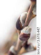 Пушистая почка ивы. Стоковое фото, фотограф Степанов Григорий / Фотобанк Лори