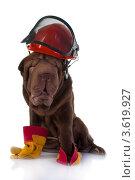Собака породы шарпей а каске строителя. Стоковое фото, фотограф OksanaOkss / Фотобанк Лори