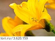 Купить «Желтая лилия», фото № 3620159, снято 23 июня 2012 г. (c) Денис Карелин / Фотобанк Лори