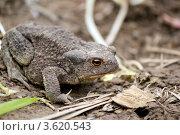 Жаба сидит на земле. Стоковое фото, фотограф Анастасия Новикова / Фотобанк Лори