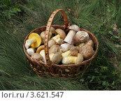 Съедобные грибы в корзине. Белые грибы и боровики жёлтые (полубелые). Трофеи грибной охоты. Стоковое фото, фотограф Георгий Чернилевский / Фотобанк Лори
