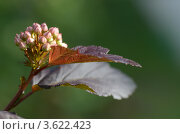 Цветение пузыреплодника. Стоковое фото, фотограф Александра / Фотобанк Лори
