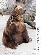Бурый медведь. Стоковое фото, фотограф Алексей Судариков / Фотобанк Лори