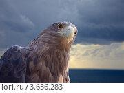 Купить «Орлан-белохвост на фоне моря», фото № 3636283, снято 14 июля 2011 г. (c) Яков Филимонов / Фотобанк Лори