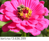 Цинния и пчела. Стоковое фото, фотограф Мамонтова Екатерина Александровна / Фотобанк Лори