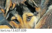 Сторожевая собака крупным планом. Стоковое видео, видеограф Евгений / Фотобанк Лори