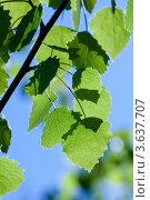 Купить «Листья осины на фоне голубого неба в солнечный день», фото № 3637707, снято 11 мая 2011 г. (c) Татьяна Макотра / Фотобанк Лори