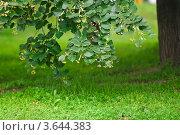 Купить «Свисающая до земли ветка цветущей липы», эксклюзивное фото № 3644383, снято 23 июня 2012 г. (c) Алёшина Оксана / Фотобанк Лори