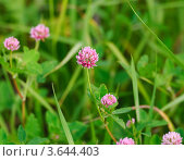 Купить «Клевер гибридный, или Клевер розовый (Trifolium hybridum)», эксклюзивное фото № 3644403, снято 23 июня 2012 г. (c) Алёшина Оксана / Фотобанк Лори
