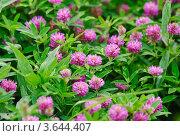 Купить «Клевер луговой (Trifolium pratense)», эксклюзивное фото № 3644407, снято 23 июня 2012 г. (c) Алёшина Оксана / Фотобанк Лори