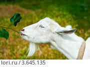 Купить «Белая коза», фото № 3645135, снято 17 июня 2012 г. (c) katalinks / Фотобанк Лори