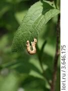 Толстая гусеница изогнулась петлей на краю зеленого листа. Стоковое фото, фотограф Щеголева Ольга / Фотобанк Лори