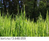 Трава в солнечных лучах. Стоковое фото, фотограф Анна Волик / Фотобанк Лори