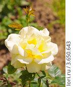 Купить «Роза Gloria Dei (rosa)», эксклюзивное фото № 3650643, снято 19 июня 2012 г. (c) Алёшина Оксана / Фотобанк Лори
