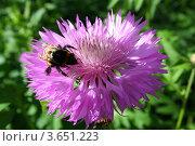 Шмель на цветке. Стоковое фото, фотограф Камиля Сайдашева / Фотобанк Лори