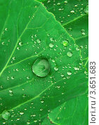 Капли воды на зеленом листе. Стоковое фото, фотограф Екатерина Усынина / Фотобанк Лори