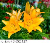 Купить «Желтые лилии», фото № 3652127, снято 7 июля 2012 г. (c) Екатерина Овсянникова / Фотобанк Лори
