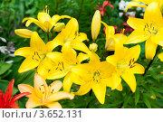 Купить «Желтые лилии», фото № 3652131, снято 7 июля 2012 г. (c) Екатерина Овсянникова / Фотобанк Лори