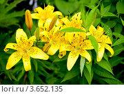 Купить «Желтые лилии», фото № 3652135, снято 7 июля 2012 г. (c) Екатерина Овсянникова / Фотобанк Лори