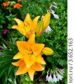 Купить «Желтые лилии», фото № 3652163, снято 7 июля 2012 г. (c) Екатерина Овсянникова / Фотобанк Лори