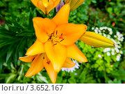 Купить «Желтые лилии», фото № 3652167, снято 7 июля 2012 г. (c) Екатерина Овсянникова / Фотобанк Лори